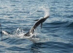puerto vallarta marlin fishing